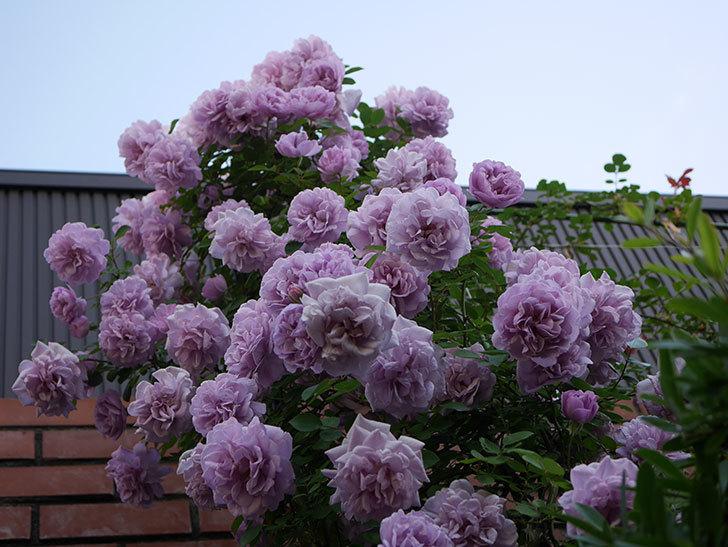 レイニーブルー(ツルバラ)の花がまだ良い感じで咲いている。2020年-020.jpg