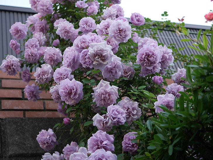 レイニーブルー(ツルバラ)の花がまだ良い感じで咲いている。2020年-021.jpg