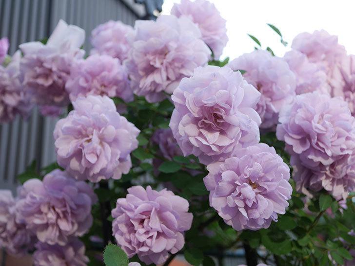 レイニーブルー(ツルバラ)の花がまだ良い感じで咲いている。2020年-022.jpg
