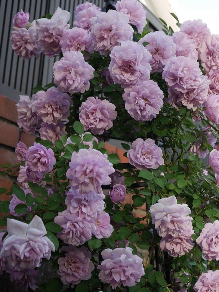 レイニーブルー(ツルバラ)の花がまだ良い感じで咲いている。2020年-023.jpg