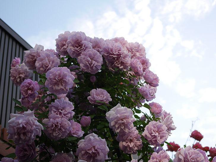 レイニーブルー(ツルバラ)の花がまだ良い感じで咲いている。2020年-024.jpg