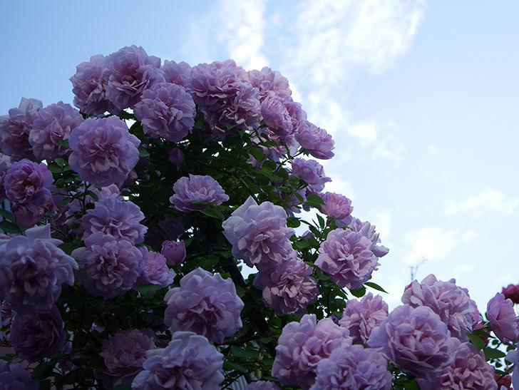 レイニーブルー(ツルバラ)の花がまだ良い感じで咲いている。2020年-025.jpg