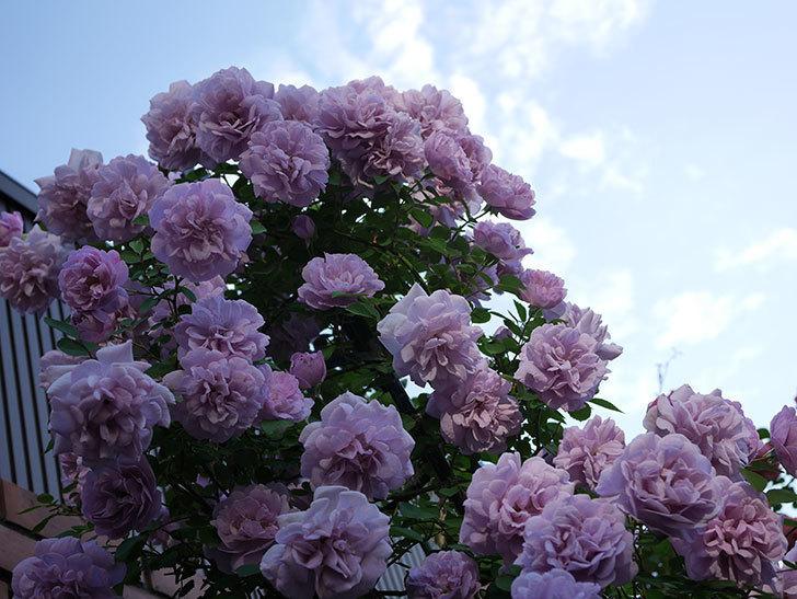 レイニーブルー(ツルバラ)の花がまだ良い感じで咲いている。2020年-026.jpg