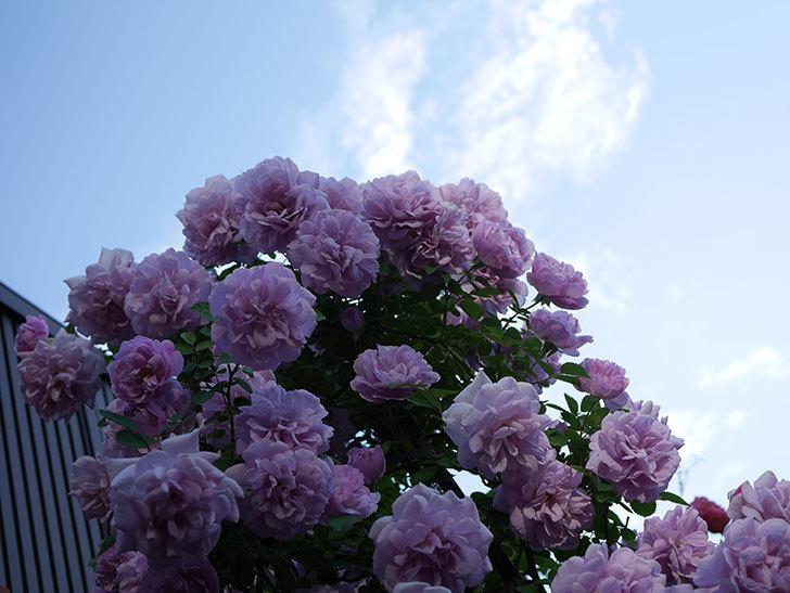レイニーブルー(ツルバラ)の花がまだ良い感じで咲いている。2020年-027.jpg