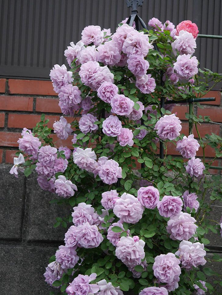 レイニーブルー(ツルバラ)の花がまだ良い感じで咲いている。2020年-028.jpg