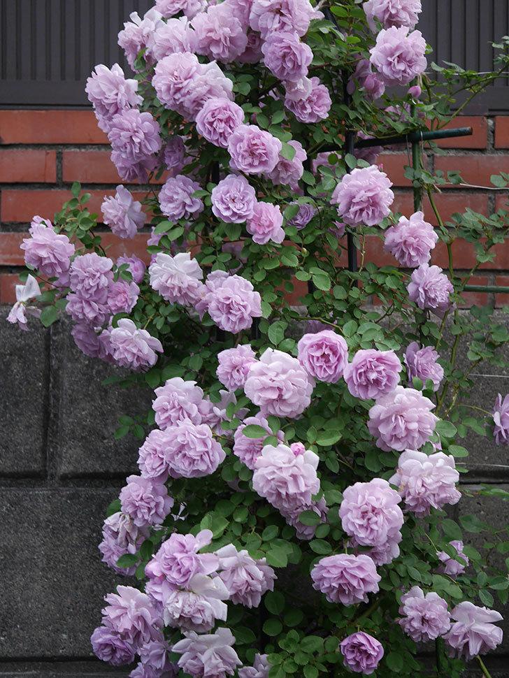 レイニーブルー(ツルバラ)の花がまだ良い感じで咲いている。2020年-029.jpg