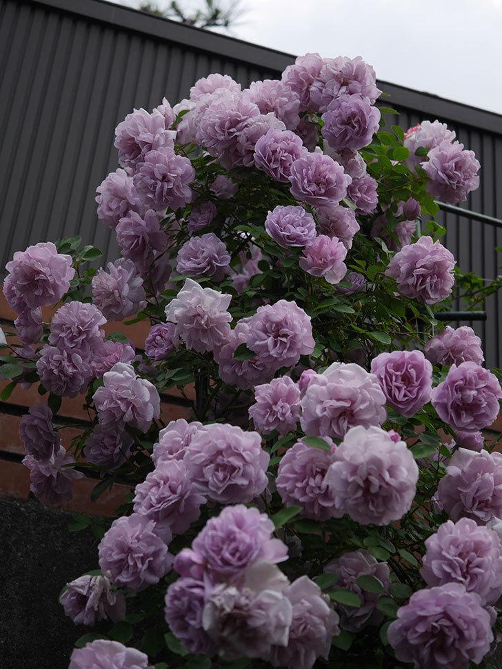 レイニーブルー(ツルバラ)の花がまだ良い感じで咲いている。2020年-030.jpg