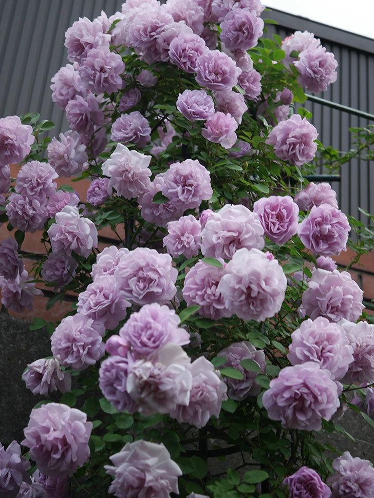 レイニーブルー(ツルバラ)の花がまだ良い感じで咲いている。2020年-031.jpg