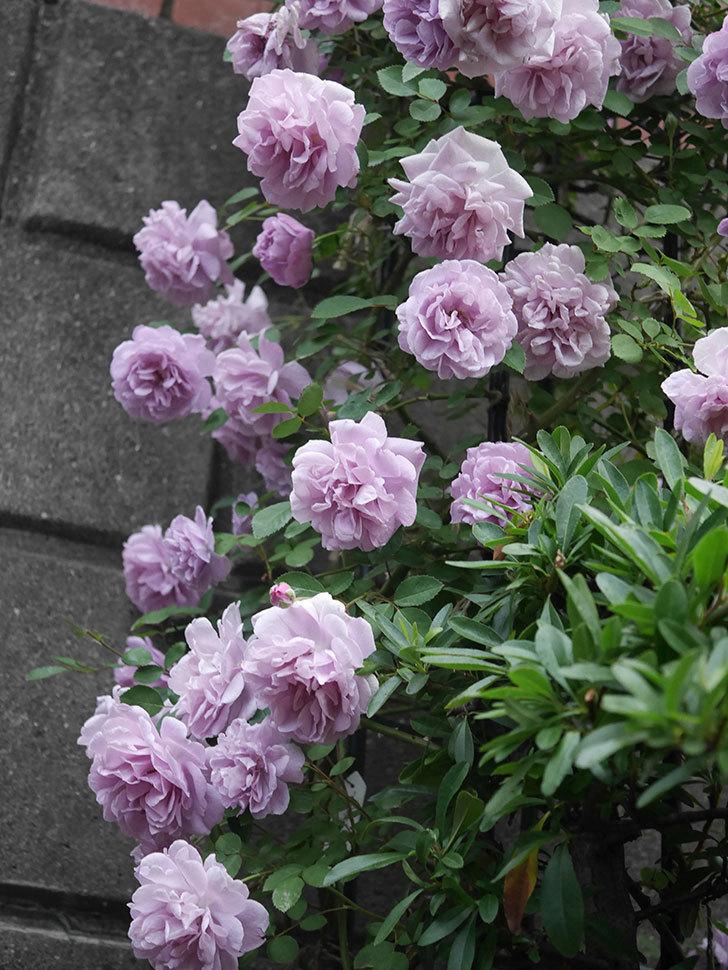 レイニーブルー(ツルバラ)の花がまだ良い感じで咲いている。2020年-033.jpg