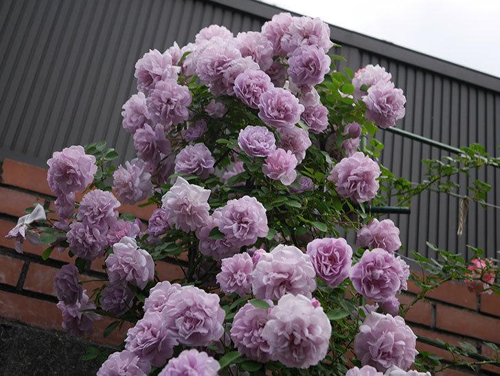レイニーブルー(ツルバラ)の花がまだ良い感じで咲いている。2020年-034.jpg
