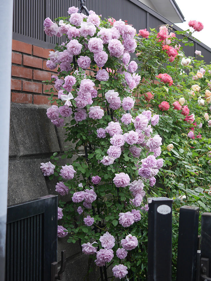 レイニーブルー(ツルバラ)の花がまだ良い感じで咲いている。2020年-035.jpg