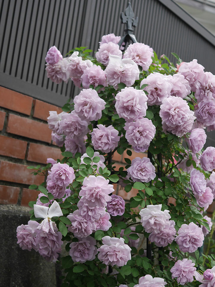 レイニーブルー(ツルバラ)の花がまだ良い感じで咲いている。2020年-036.jpg