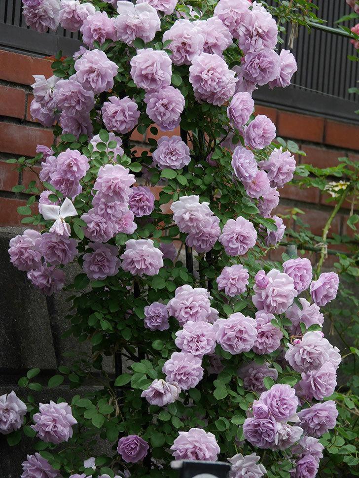 レイニーブルー(ツルバラ)の花がまだ良い感じで咲いている。2020年-037.jpg