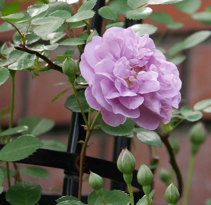レイニーブルー(ツルバラ)の花が咲いた。2018年-1.jpg