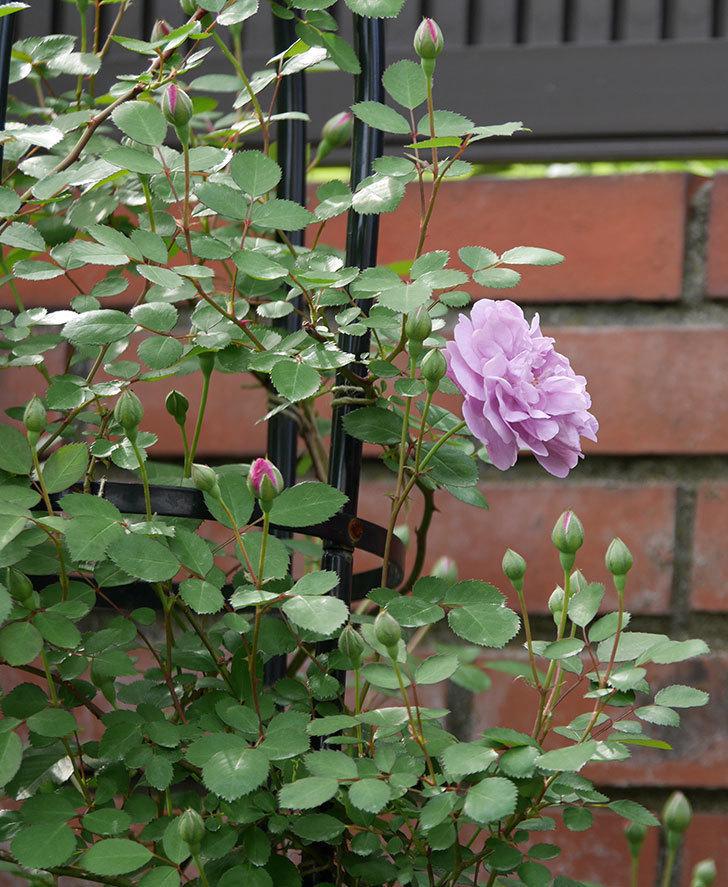 レイニーブルー(ツルバラ)の花が咲いた。2018年-3.jpg