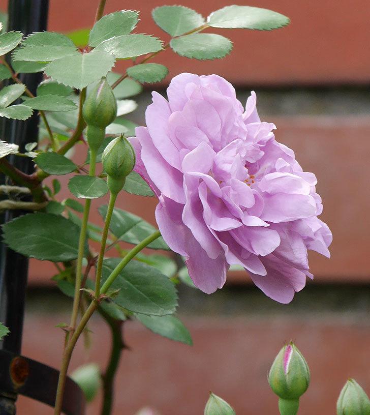 レイニーブルー(ツルバラ)の花が咲いた。2018年-4.jpg