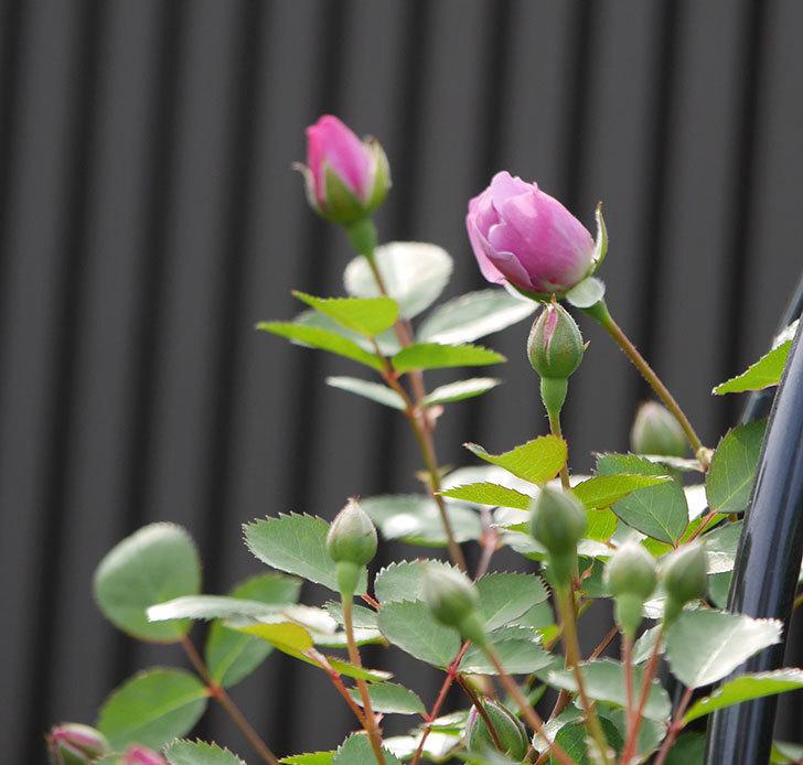 レイニーブルー(ツルバラ)の花が咲いた。2018年-5.jpg