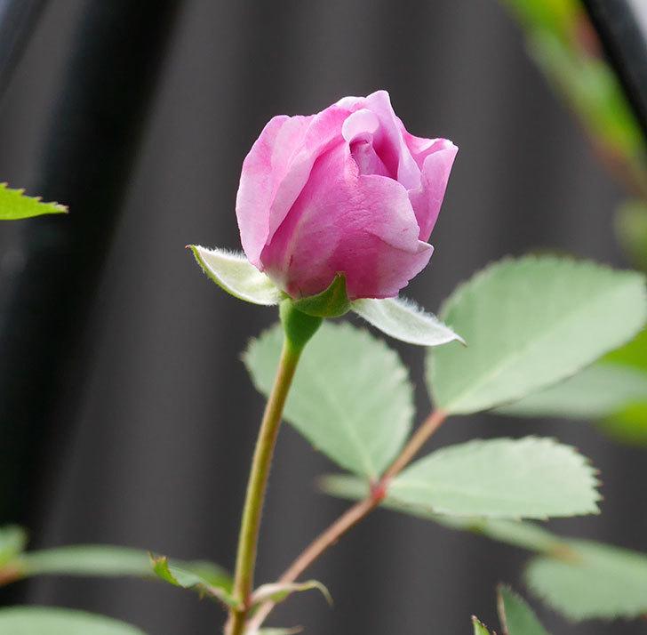 レイニーブルー(ツルバラ)の花が咲いた。2018年-7.jpg
