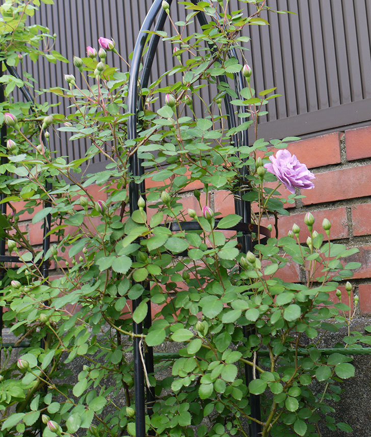 レイニーブルー(ツルバラ)の花が咲いた。2018年-9.jpg
