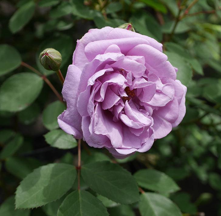 レイニーブルー(ツルバラ)の花が咲いた。2019年-1.jpg