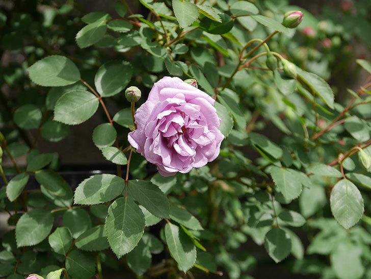 レイニーブルー(ツルバラ)の花が咲いた。2019年-10.jpg