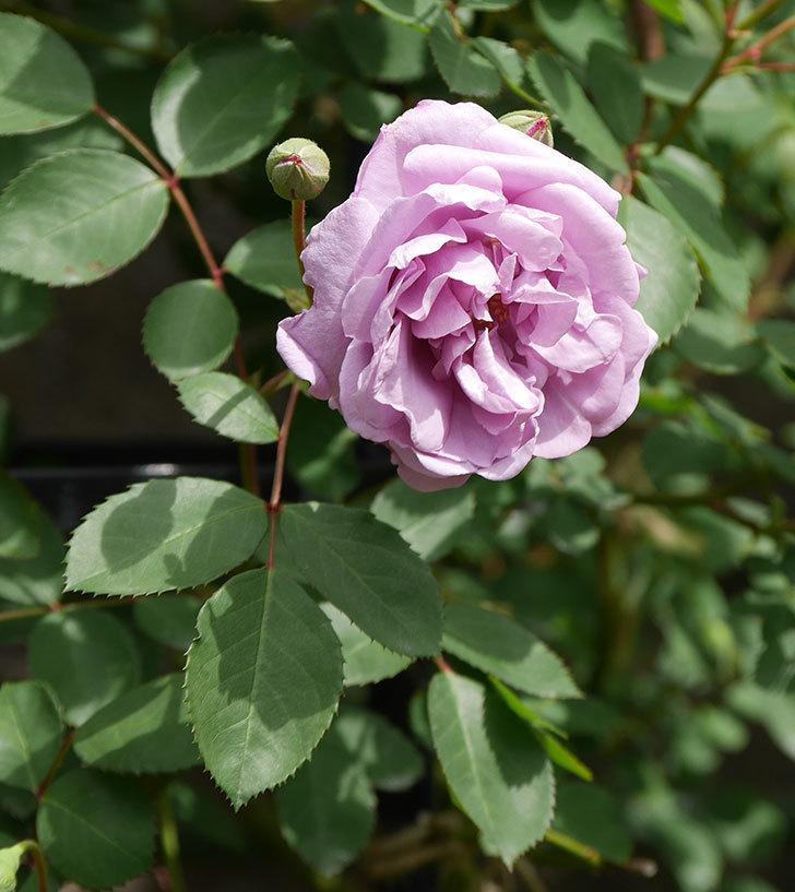 レイニーブルー(ツルバラ)の花が咲いた。2019年-11.jpg