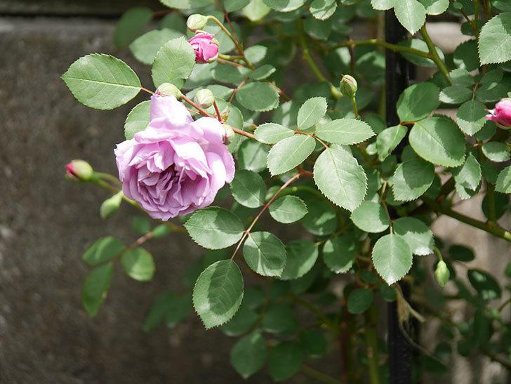 レイニーブルー(ツルバラ)の花が咲いた。2019年-12.jpg