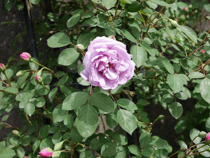 レイニーブルー(ツルバラ)の花が咲いた。2019年-2.jpg