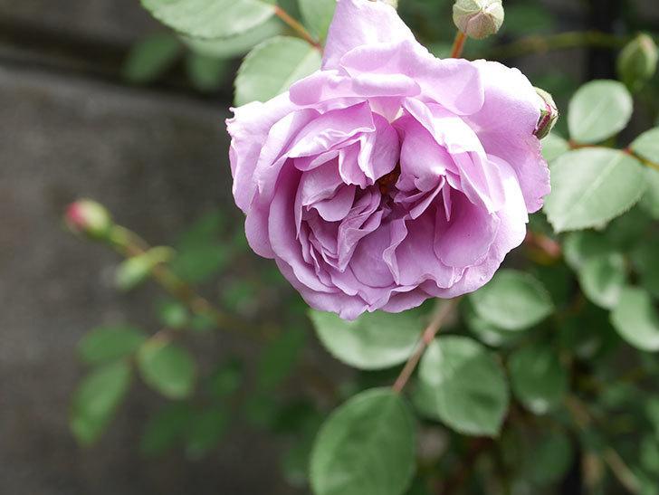 レイニーブルー(ツルバラ)の花が咲いた。2019年-4.jpg