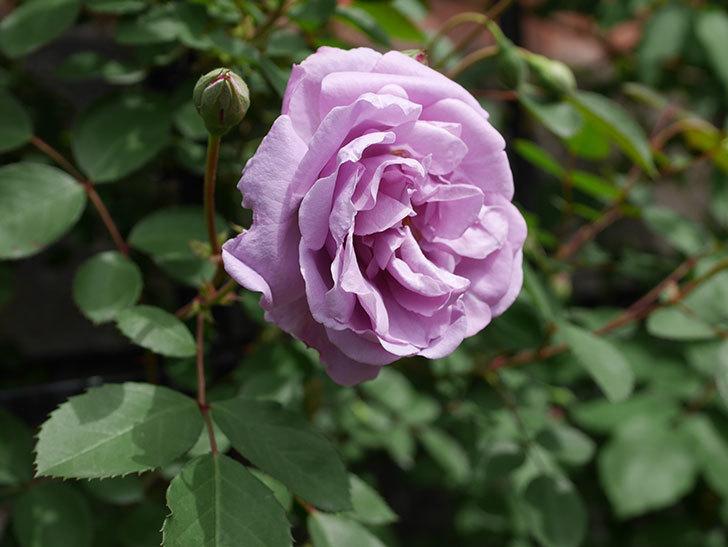 レイニーブルー(ツルバラ)の花が咲いた。2019年-5.jpg
