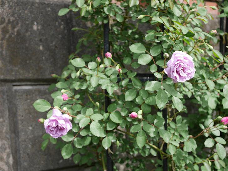レイニーブルー(ツルバラ)の花が咲いた。2019年-6.jpg