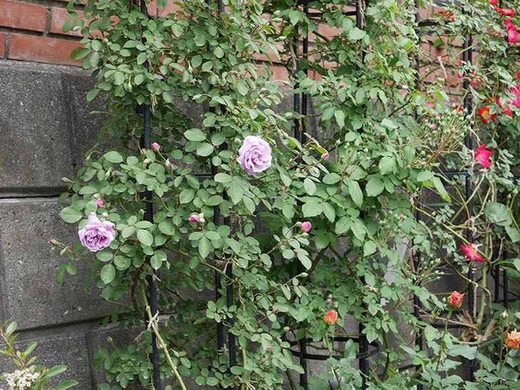 レイニーブルー(ツルバラ)の花が咲いた。2019年-7.jpg
