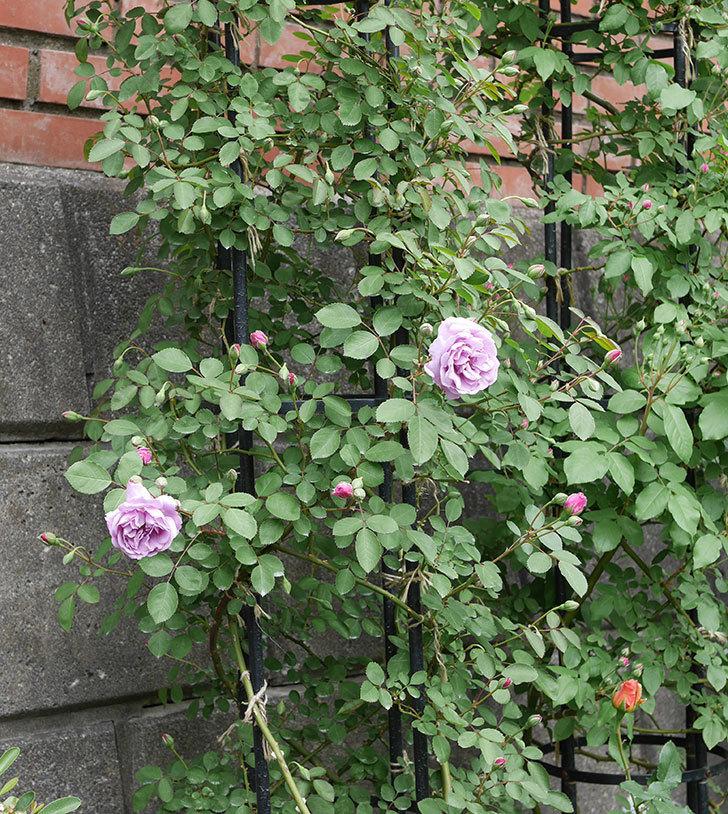 レイニーブルー(ツルバラ)の花が咲いた。2019年-8.jpg