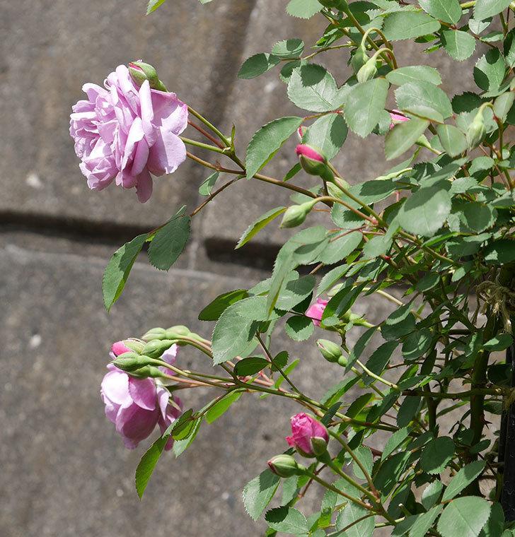 レイニーブルー(ツルバラ)の花が咲いた。2019年-9.jpg