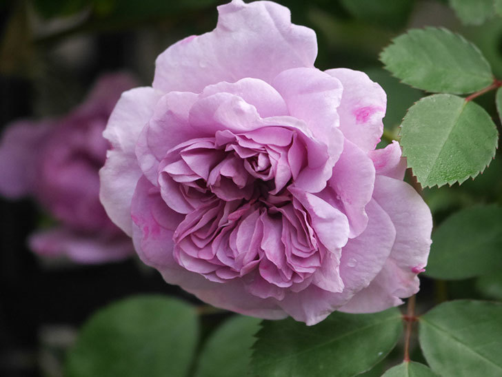 レイニーブルー(ツルバラ)の花が咲いた。2020年-2.jpg
