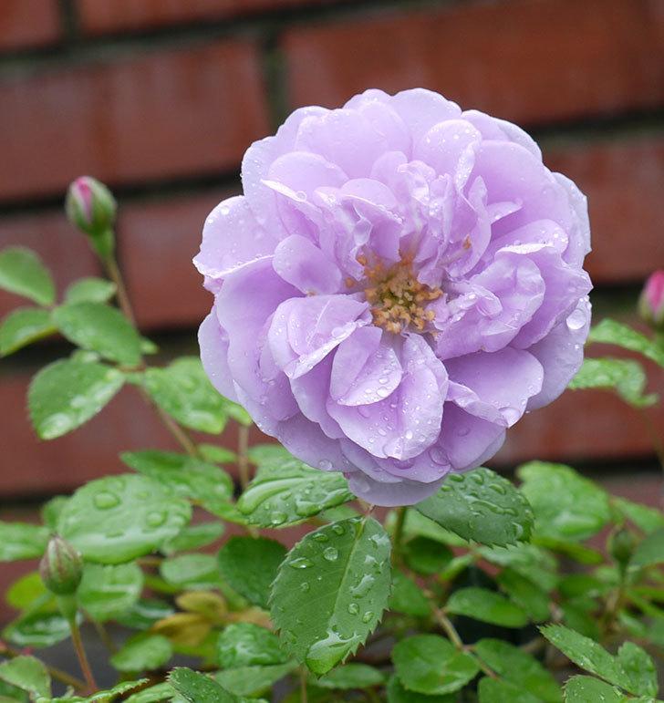 レイニーブルー(ツルバラ)の花が咲きだした。2017年-1.jpg