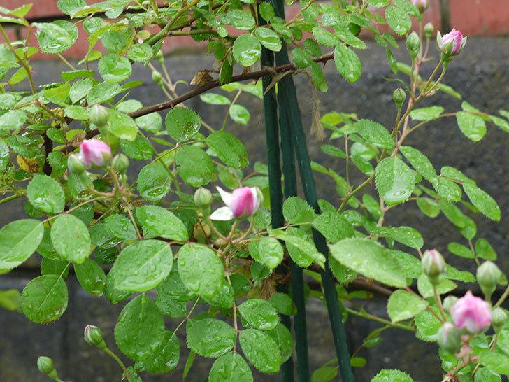 レイニーブルー(ツルバラ)の花が咲きだした。2017年-4.jpg