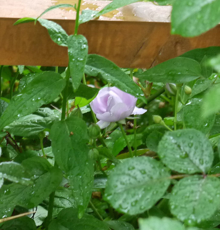 レイニーブルー(ツルバラ)の花が咲きだした。2017年-6.jpg