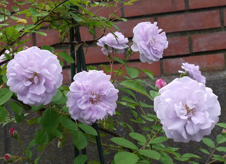 レイニーブルー(ツルバラ)の花が増えてきた。2017年-1.jpg