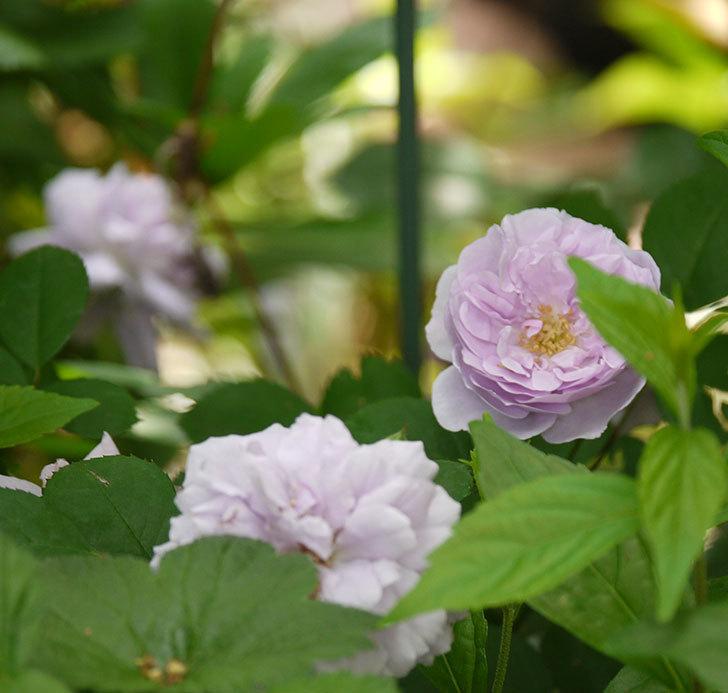 レイニーブルー(ツルバラ)の花が増えてきた。2017年-10.jpg