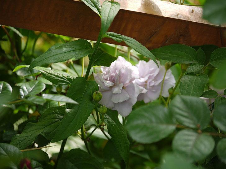 レイニーブルー(ツルバラ)の花が増えてきた。2017年-12.jpg
