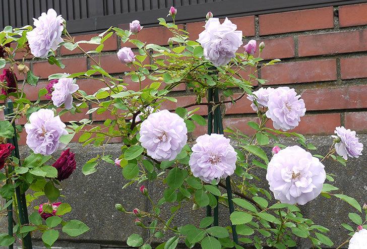 レイニーブルー(ツルバラ)の花が増えてきた。2017年-2.jpg