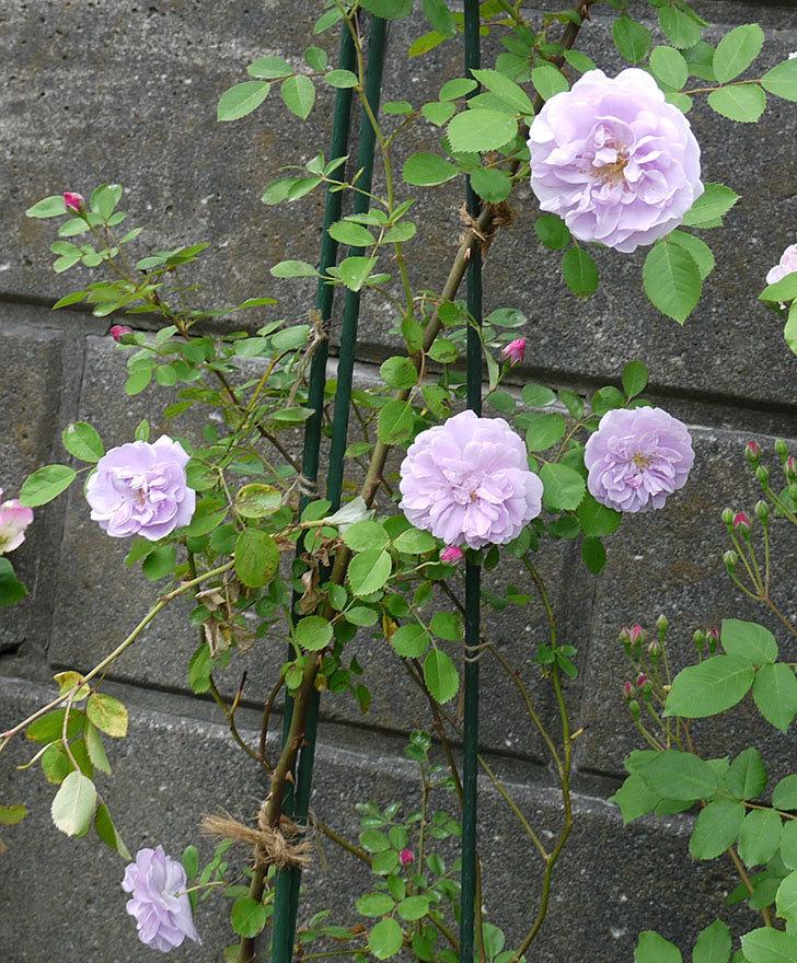 レイニーブルー(ツルバラ)の花が増えてきた。2017年-3.jpg