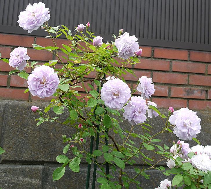レイニーブルー(ツルバラ)の花が増えてきた。2017年-6.jpg