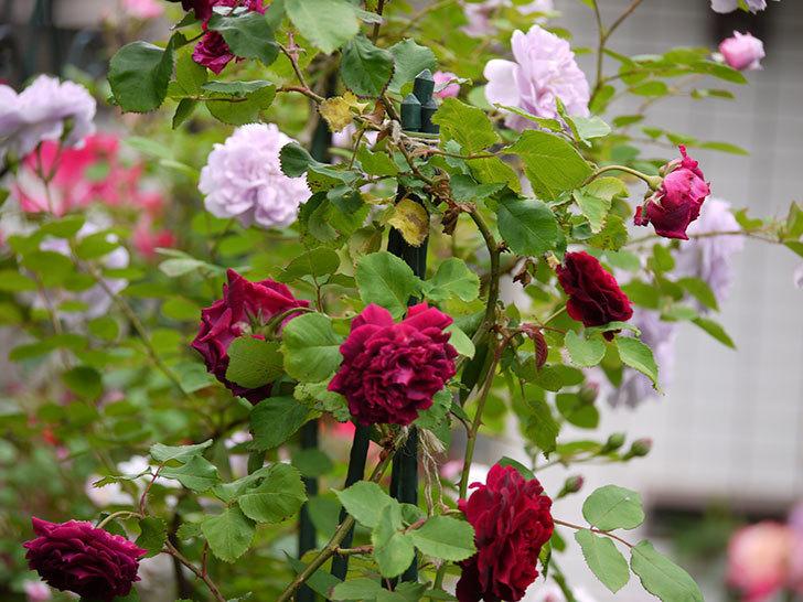 レイニーブルー(ツルバラ)の花が増えてきた。2017年-7.jpg