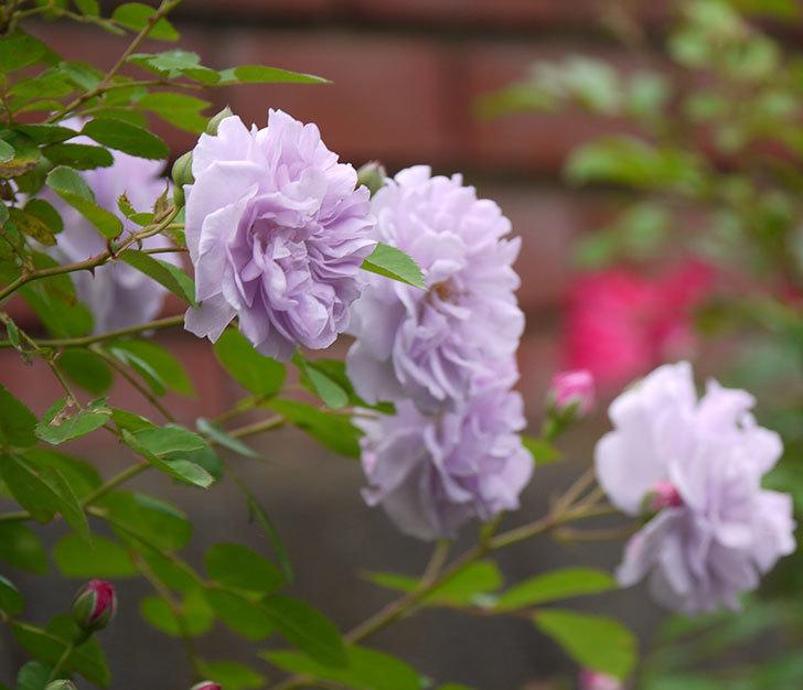 レイニーブルー(ツルバラ)の花が増えてきた。2017年-8.jpg