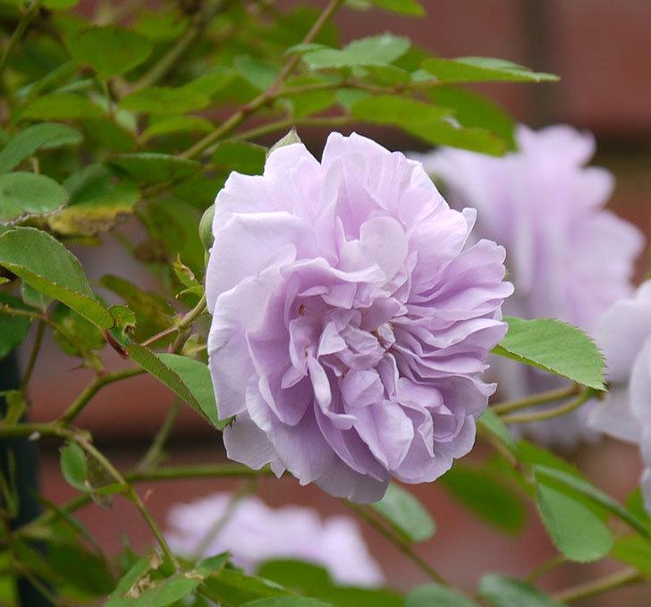 レイニーブルー(ツルバラ)の花が増えてきた。2017年-9.jpg