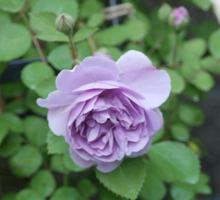 レイニーブルー(ツルバラ)の花が増えてきた。2018年-5.jpg