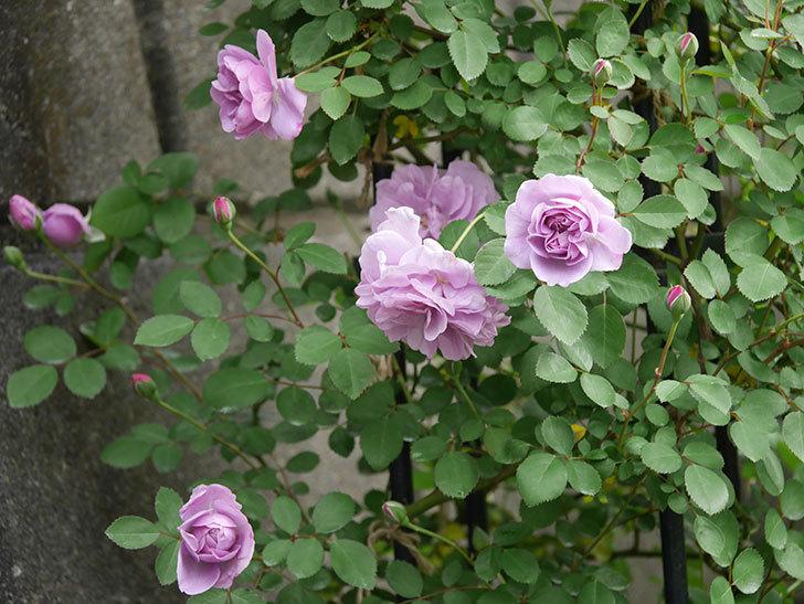 レイニーブルー(ツルバラ)の花が増えてきた。2020年-1.jpg