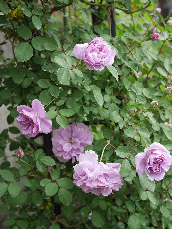 レイニーブルー(ツルバラ)の花が増えてきた。2020年-10.jpg